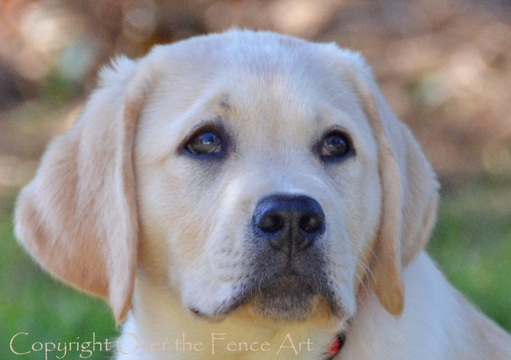 YELLOW LABRADOR  PUPPY Photograph Greeting Card  Dog Portrait Pet Portrait by overthefenceart on Etsy https://www.etsy.com/listing/196876271/yellow-labrador-puppy-photograph