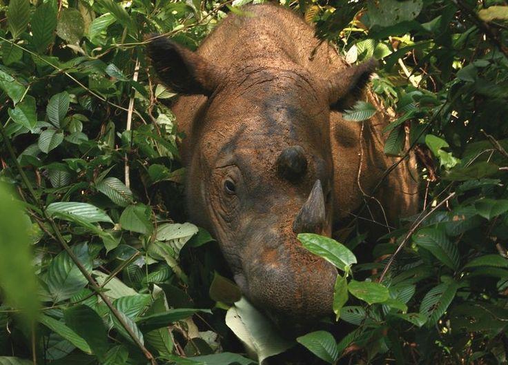https://wildtech.mongabay.com/wp-content/uploads/sites/22/2015/09/Sumatran_Rhinoceros_Way_Kambas_2008.jpg