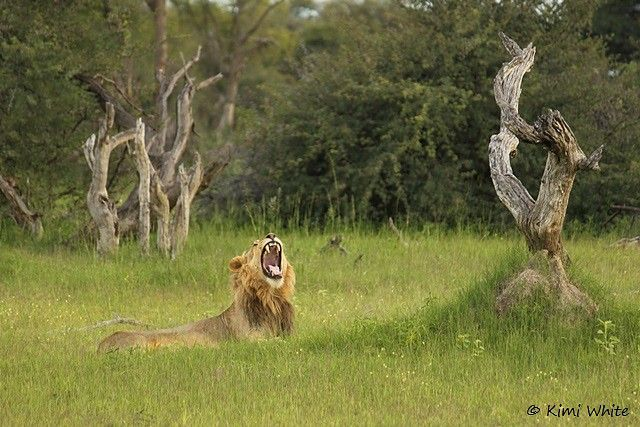 Long day? Languid lion at Little Makalolo - Hwange NP, Zimbabwe