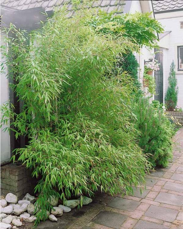 #Bambou vert