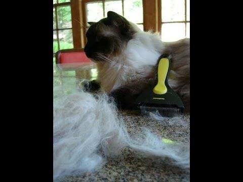 Do Ragdoll Cats Shed? http://www.floppycats.com/do-ragdoll-cats-shed.html