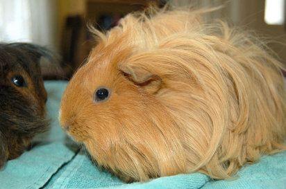 Cobayas de pelo largo | Cuidar de tu mascota es facilisimo.com