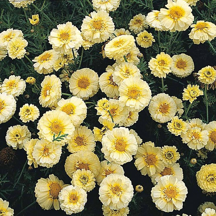 "Chrysanthemum coronarium 'Primrose Gem' seeds | Thompson & Morgan. recommended by Georgie Newbery ""...to go with spring colours"""