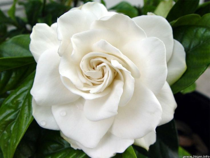 The sweetly feminine, richly scented Gardenia