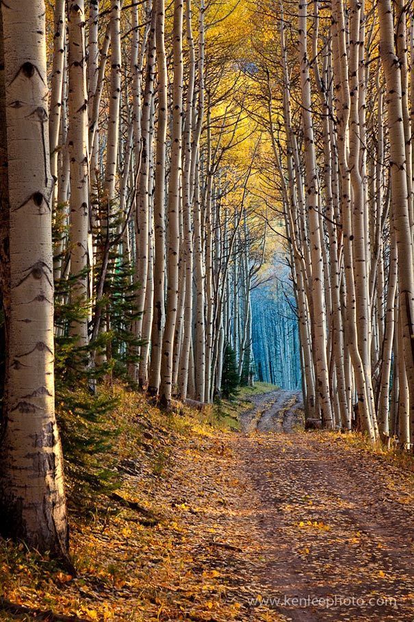 Aspen-lined tunnel of trees from 50 Mind-Blowing Examples of Landscape Photography   Bored Panda What clarissa sees when she first meets Ragged