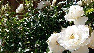 White Roses, Rose Bush, Flower, White