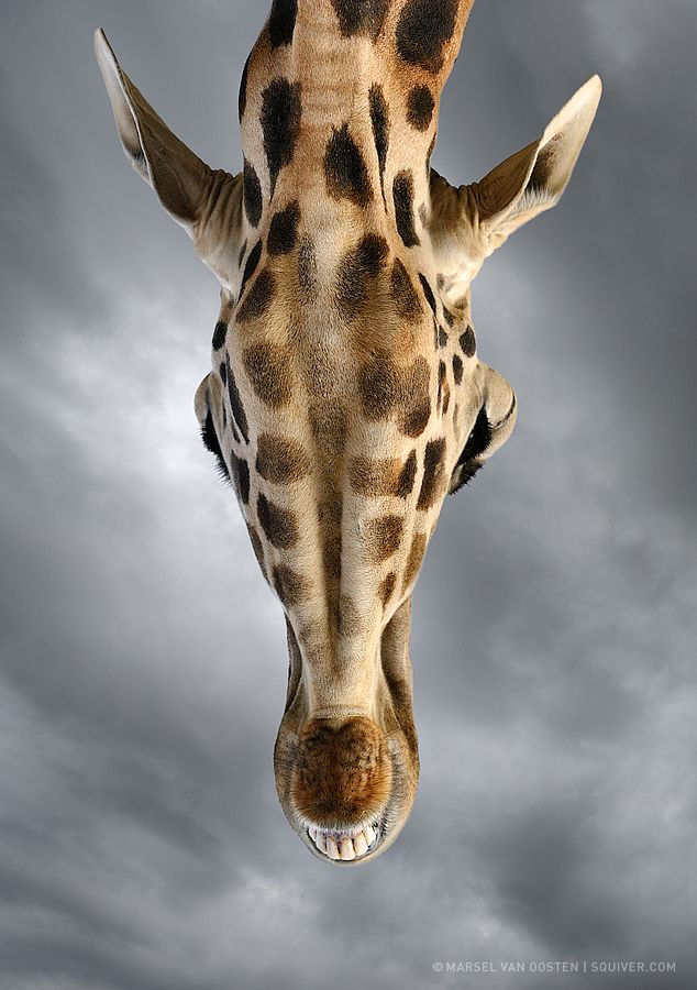 Its great to have a bit of time in the New Year to find some more Zoo images for the Labels Zoo 'Welcome to the Zoo' board. I've found some great ones this morning.   Photograph Looking Up by Marsel van Oosten on 500px