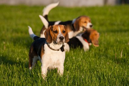 Another very common Beagle personality is that they crave companionship and can become stressed and anxious if left alone for too long.