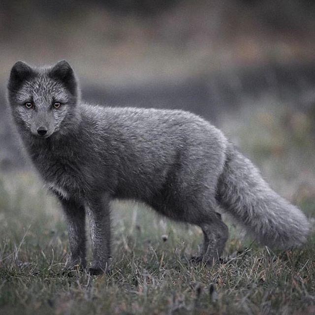 Tundra Arctic Fox In Summer 1000+ ideas abo...