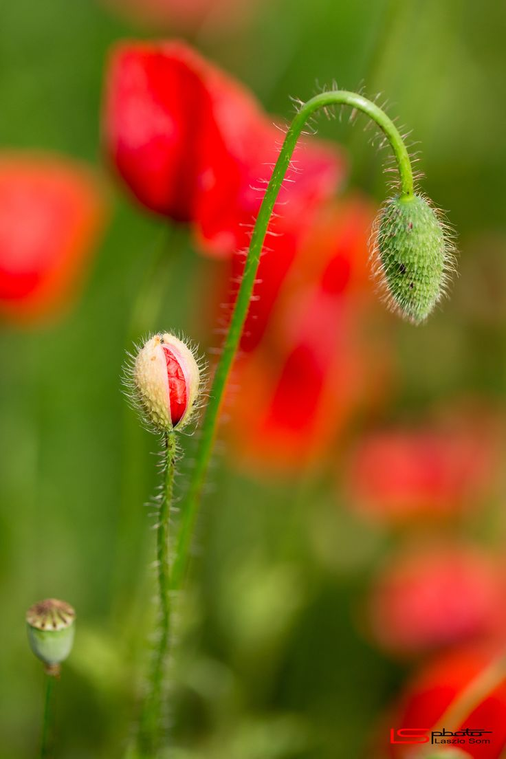 Poppy buds by Laszlo Som on 500px