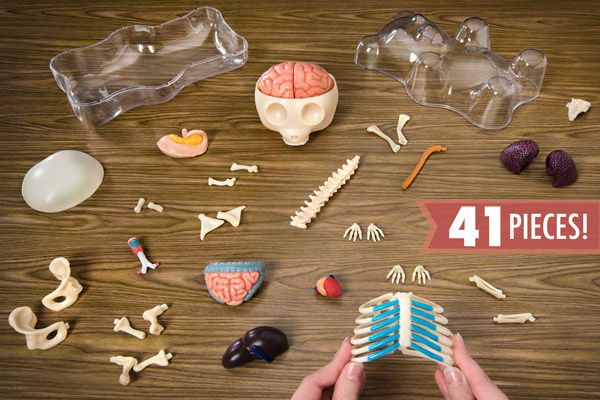 The Gummy Bear 3D Anatomy Model contains 41 pieces.