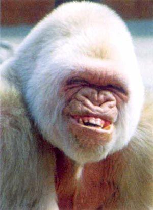 Funny Smiling Albino Gorilla by coolcade283, via Flickr