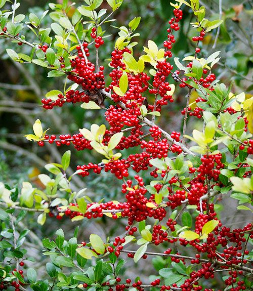 "Genus: Ilex vomitoria Zones: 7 to 10 Cost: $12 to $30 Expert says: ""This drought-tolerant Texas native can grow to 15 feet or taller. In winter, its attractive red berries feed birds."" — John Dromgoole  - GoodHousekeeping.com"