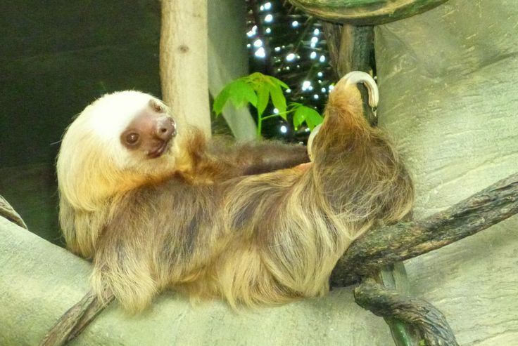 Chloe the Sloth at Como Zoo in St. Paul, MN