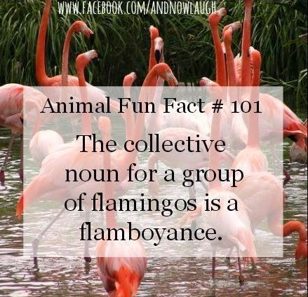 Animal fun fact about flamingos via www.Facebook.com/AndNowLaugh