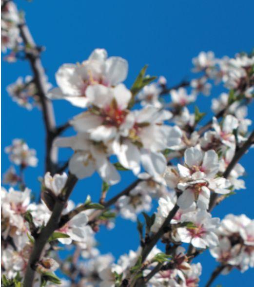 Hvite og rosa blomster fyller fjellskråningene med søt duft og et synsinntrykk som minner om vårt eget Hardanger i full epleblomst. Men her på Costa Blanca er det mandler det gjelder. Mandeltrær i blomst er et sikkert vårtegn med lysere og, ikke minst, varmere tider i vente. http://www.spania24.no/mandler-i-blomst-et-sikkert-vartegn/
