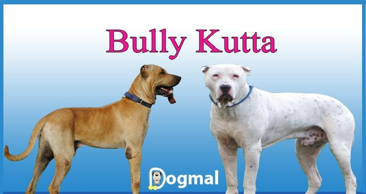 Bully Kutta dog breed all information and pictures - The Bully Kutta is a dog breed that originates from the erstwhile Punjab region and It is a native of India and Pakistan. It's an extremely aggressive mastiff dog.The Bully Kutta is a rare dog …