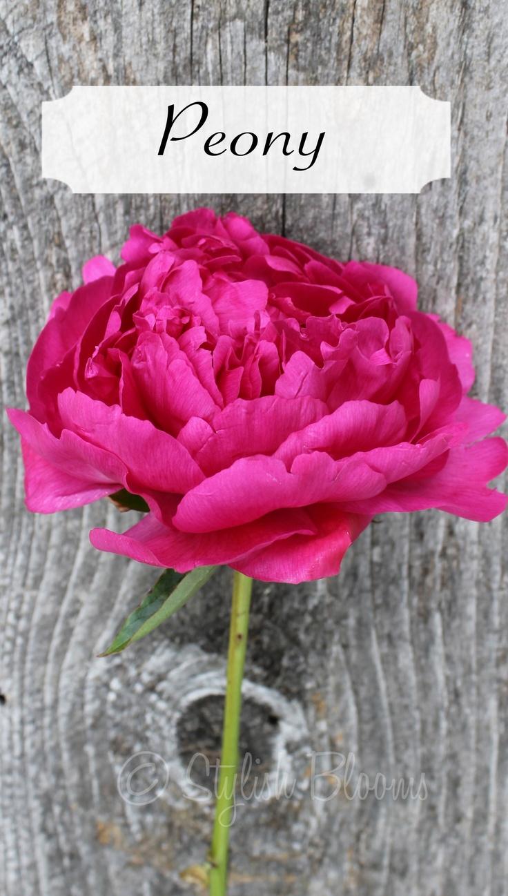 Hot Pink Peony-spring