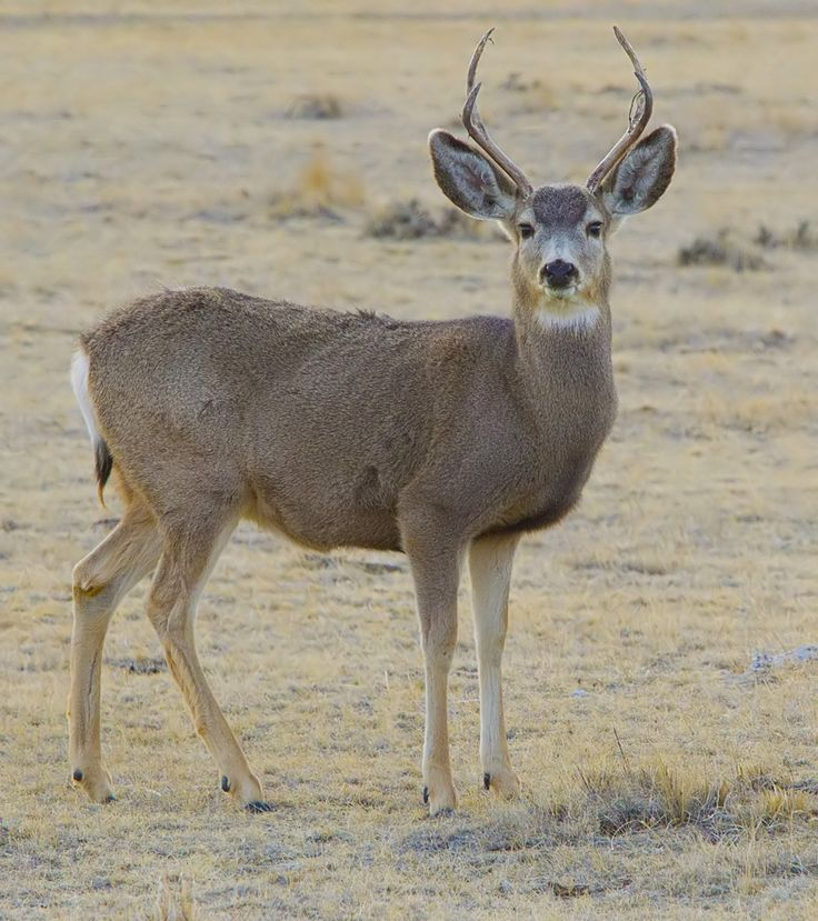 Mule deer - Wikipedia, the free encyclopedia
