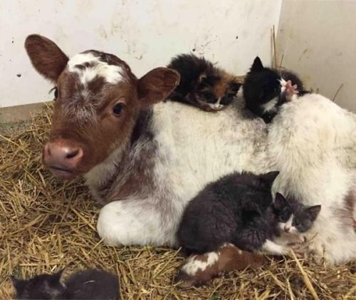 """""""Kittens cuddling into a young calf, on the farm, things are never done by half; we hope this gives you a warm smile and cute laugh!"""" (Written By: Lynn Chateau.)"""