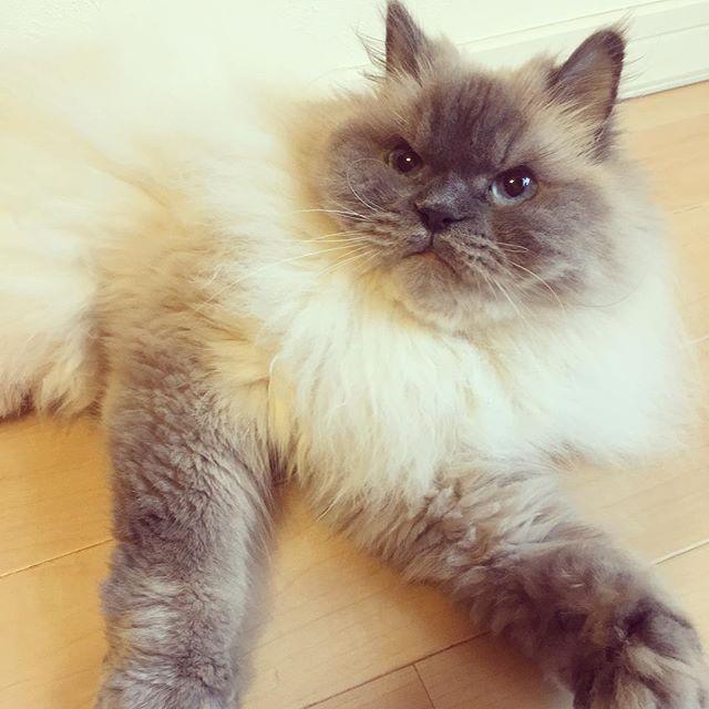 今日はあついにゃ。。しかし。。熱帯夜😾クーラーをつよめんかいっ!! 銀次郎💙💙💙💙💙 #blueeyes #銀ちゃん#catsofinstagram  #ヒマラニャンズ#ヒマラヤン猫 #猫#instacat #himarayancat  #cute#愛猫#愛猫同好会  #猫すきな人と繋がりたい  #にゃんすたぐらむ #pet#cat  #ねこすたぐらむ #instapet #ふわふわ#ふわもこ部  #ねこ#ねこ部 #ネコ部  #catstagram #petlover