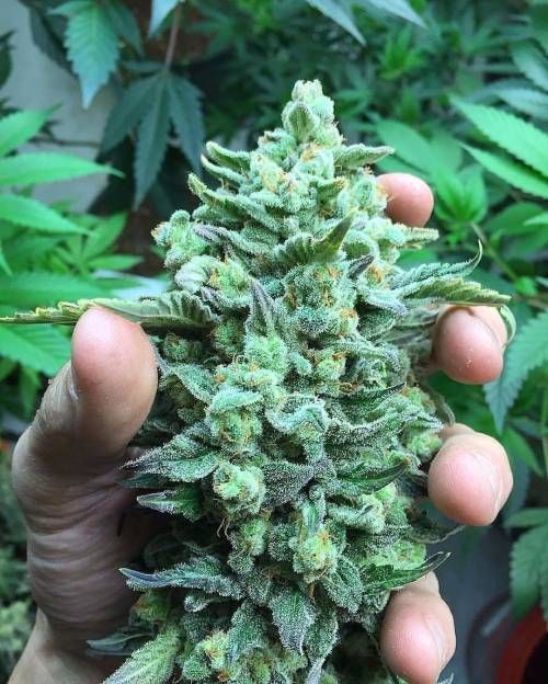 crystaldolphin: Online Weed Supply is a fast and discreet place to Buy Marijuana/ Buy weed /Buy cannabis at  affordable prices within USA and out of USA.Get the best with us as your satisfaction is our priority  Visit onlineweedsupply.com for more or call and text +19515345163 .We are available 24/7