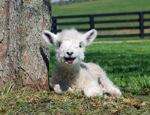 smiling lamb~whats not to smile about im thinking his life is a good 1 :)