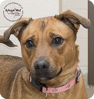 VERY URGENT- LONGEST SHELTER RESIDENT  Troy, OH - Boxer/Labrador Retriever Mix. Meet Edie a Dog for Adoption.