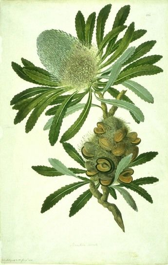 Banksia by Sydney Parkinson - (1745 - 1771)  Sydney Parkinson sailed with Captain Cook on the Endeavour and was the first non-Aboriginal artist to set foot on Australian soil. He was the first botanical artist to draw and paint plants collected in Australia.