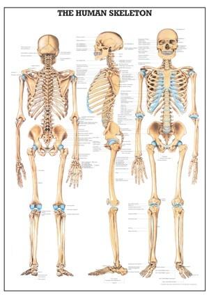 38 best bone up images on pinterest | human anatomy, bones and anatomy, Skeleton