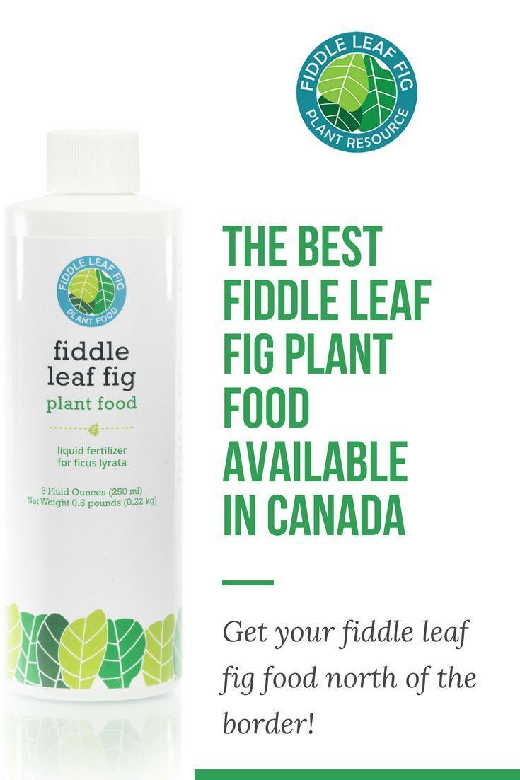 Fiddle Leaf Fig Plant Food Fiddle Leaf Fig Tree Fertilizer from The Fiddle Leaf