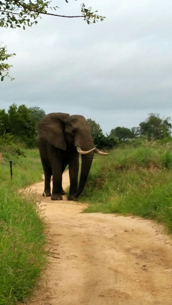 A large elephant bull walks along the path at Earth Lodge! What a great sight to see first thing in the morning! Photo by Marcus Hack
