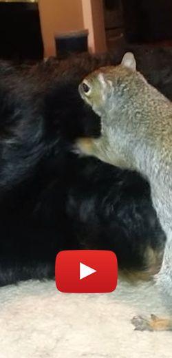 Un écureuil cache ses noix dans un bouvier bernois. http://rienquedugratuit.ca/videos/un-ecureuil-cache-ses-noix-dans-un-bouvier-bernois/