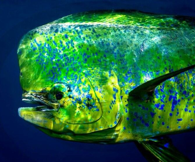Mahi mahi durado saltwater fishing florida keys for Dolphin fishing florida