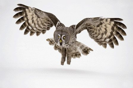 Great+Grey+Owl_Copyright+Jan+Vermeer_09.gif (448×298)