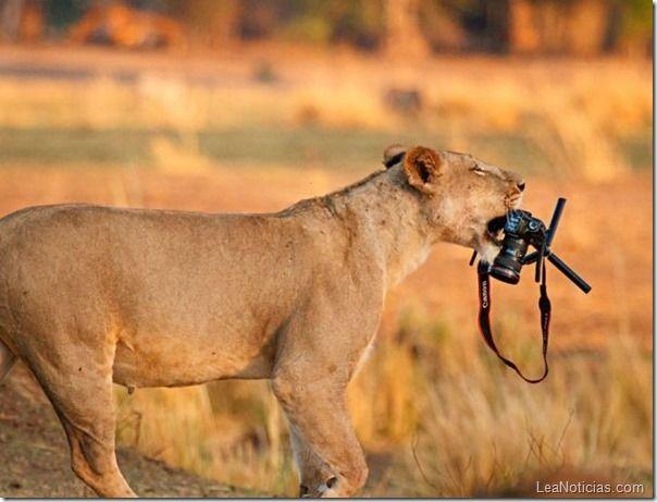 #apctitudes  Esta preciosa leona usa una cámara Cannon