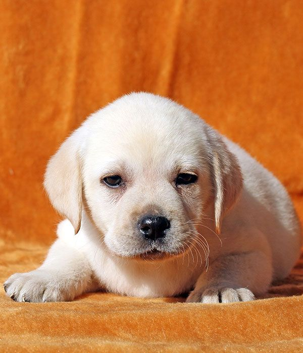 Could your puppy be a Miniature Labrador: We look at Small Size and Dwarfism In Labs