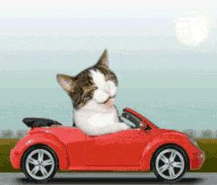 kitten driving car cat funny drives car driving kitty. Black Bedroom Furniture Sets. Home Design Ideas