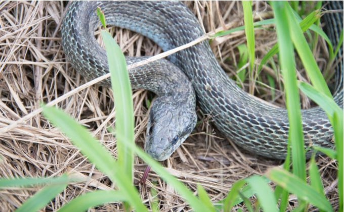 アオダイショウの特徴と飼育方法 詳しい生態や毒性の有無 生息地は Woriver アオダイショウ シマヘビ ヘビ