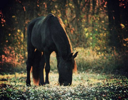 <3Friesian Mare, Forests Hors, Beautiful Hors, Friesian Hors, Favorite Hors, Dreams Hors, Black Beautiful, Black Hors, Animal