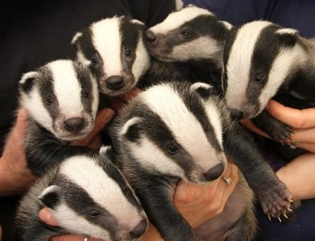maybe if i had it i'd know what it is!!! badger, right??? well, whatever they are, they are cute!!