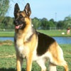 American Kennel Club - German Shepherd Dog Photos
