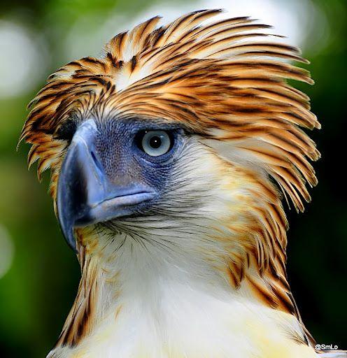 Pithecophaga jefferyi ou Aigle des singes: Il mesure 86 à 102 cm pour une masse de 4,5 à 8 kg et une envergure de 2,50 m - LaCuriosphere.com