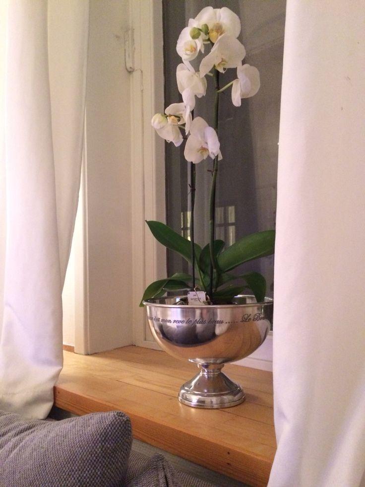 Orkide i champagnebøtte