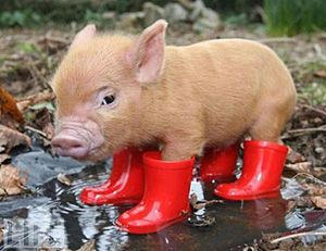 what more can you ask for than a piggy in rainboots?!