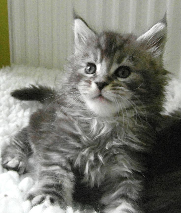 Stunning, silver tabby male maine coon from http//www