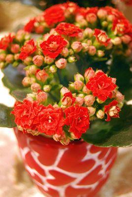 Ildtopp (Kalanchoe hybrider) hører til i Bergknappfamilien / Crassulaceae