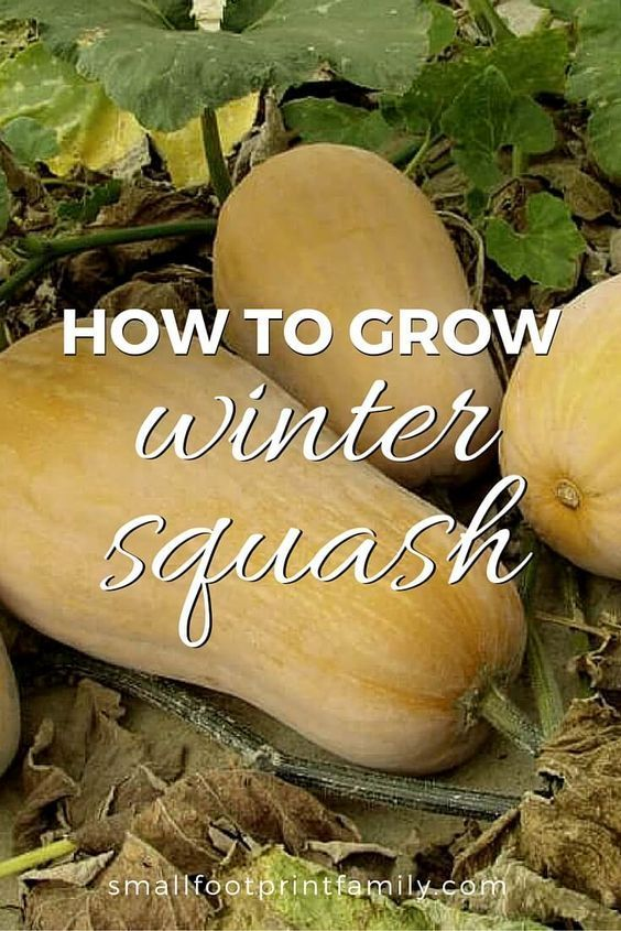 How To Grow Winter Squash. Gardening VegetablesGardening ...