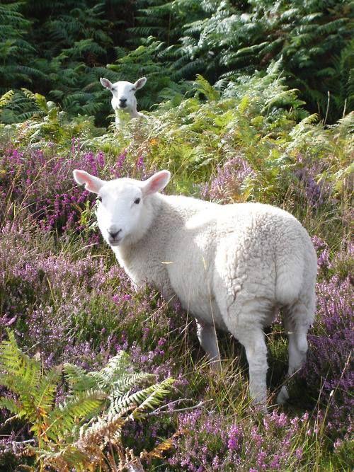 Lamb on the moorland