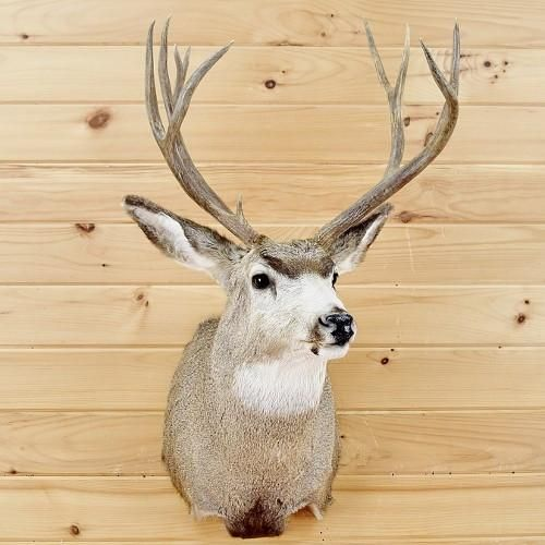 Western Mule Deer 6x4 Taxidermy Mount SW2070 for sale at Safariworks Taxidermy Sales